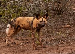 Wild-Dogs-copyright-photographers-on-safari-com-6393