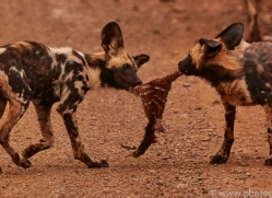 Wild-Dogs-copyright-photographers-on-safari-com-6397