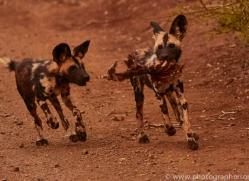 Wild-Dogs-copyright-photographers-on-safari-com-6399