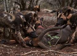 Wild-Dogs-copyright-photographers-on-safari-com-6400