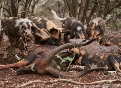 Wild-Dogs-copyright-photographers-on-safari-com-6401
