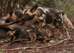 Wild-Dogs-copyright-photographers-on-safari-com-6405