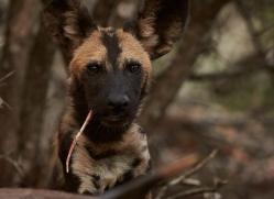 Wild-Dogs-copyright-photographers-on-safari-com-6414