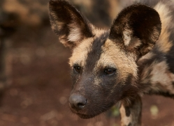 Wild-Dogs-copyright-photographers-on-safari-com-6418