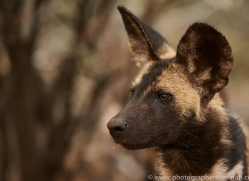 Wild-Dogs-copyright-photographers-on-safari-com-6421
