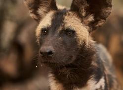 Wild-Dogs-copyright-photographers-on-safari-com-6422