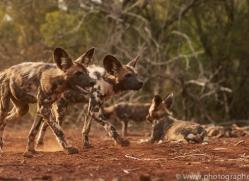 Wild-Dogs-copyright-photographers-on-safari-com-6424