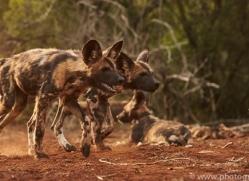 Wild-Dogs-copyright-photographers-on-safari-com-6425