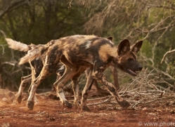 Wild-Dogs-copyright-photographers-on-safari-com-6427