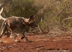 Wild-Dogs-copyright-photographers-on-safari-com-6428