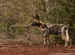 Wild-Dogs-copyright-photographers-on-safari-com-6430