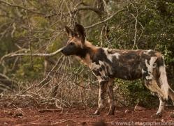 Wild-Dogs-copyright-photographers-on-safari-com-6431