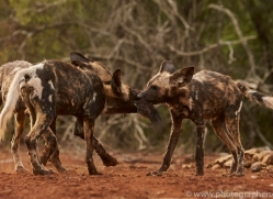 Wild-Dogs-copyright-photographers-on-safari-com-6432