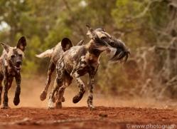 Wild-Dogs-copyright-photographers-on-safari-com-6435