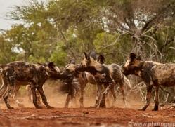 Wild-Dogs-copyright-photographers-on-safari-com-6439