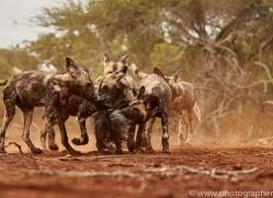 Wild-Dogs-copyright-photographers-on-safari-com-6441