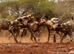 Wild-Dogs-copyright-photographers-on-safari-com-6444