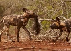 Wild-Dogs-copyright-photographers-on-safari-com-6449