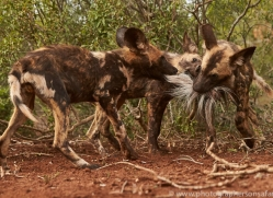 Wild-Dogs-copyright-photographers-on-safari-com-6452