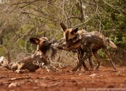 Wild-Dogs-copyright-photographers-on-safari-com-6456