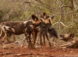 Wild-Dogs-copyright-photographers-on-safari-com-6458