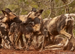 Wild-Dogs-copyright-photographers-on-safari-com-6459