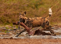 Wild-Dogs-copyright-photographers-on-safari-com-6463