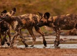 Wild-Dogs-copyright-photographers-on-safari-com-6477