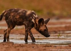 Wild-Dogs-copyright-photographers-on-safari-com-6479