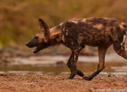 Wild-Dogs-copyright-photographers-on-safari-com-6481