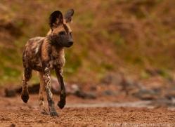 Wild-Dogs-copyright-photographers-on-safari-com-6482