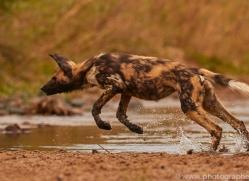 Wild-Dogs-copyright-photographers-on-safari-com-6483