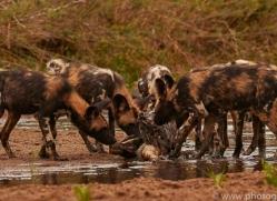 Wild-Dogs-copyright-photographers-on-safari-com-6484