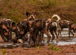 Wild-Dogs-copyright-photographers-on-safari-com-6485