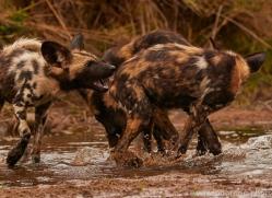 Wild-Dogs-copyright-photographers-on-safari-com-6497