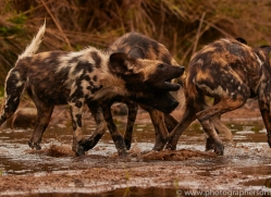Wild-Dogs-copyright-photographers-on-safari-com-6498