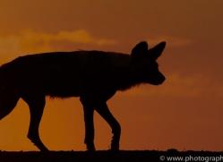 Wild-Dogs-copyright-photographers-on-safari-com-6510