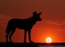 Wild-Dogs-copyright-photographers-on-safari-com-6512