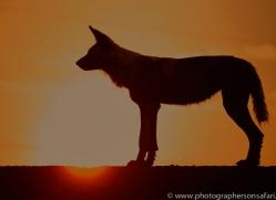 Wild-Dogs-copyright-photographers-on-safari-com-6513