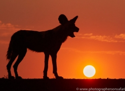 Wild-Dogs-copyright-photographers-on-safari-com-6514