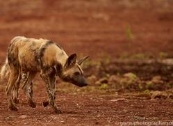 Wild-Dogs-copyright-photographers-on-safari-com-6515