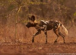 Wild-Dogs-copyright-photographers-on-safari-com-6521