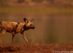 Wild-Dogs-copyright-photographers-on-safari-com-6527