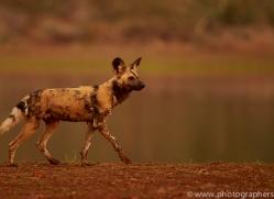 Wild-Dogs-copyright-photographers-on-safari-com-6530