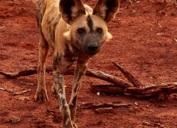 Wild-Dogs-copyright-photographers-on-safari-com-6536