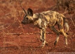 Wild-Dogs-copyright-photographers-on-safari-com-6542
