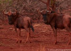 Wildebeest-copyright-photographers-on-safari-com-6545