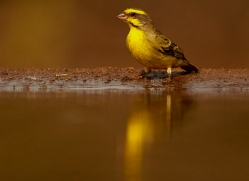 Yellow-Breasted-Canary-copyright-photographers-on-safari-com-6546