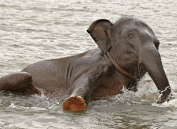 indian-elephant-sri-lanka-2958-copyright-photographers-on-safari-com