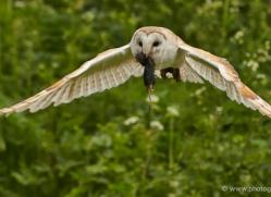 barn-owl-312-copyright-photographers-on-safari-com